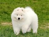 佛山养狗场直销多种狗狗 国庆有优惠 纯种萨摩耶犬 品质保障