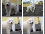 本地哪里有宠物店 大白熊犬