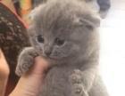 小蓝猫头大橘眼,最后一小公处理,惊爆价,喜欢就抱走吧