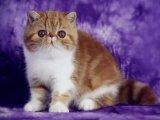 多只精品加菲猫 异短待售血统纯正 可上门挑选