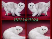 全国连锁--上门/送货--苏格兰折耳猫/苏折猫(真正猫舍)