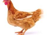 濮阳罗曼褐青年鸡厂家直发没有中间商赚差价