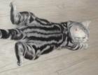 萌萌的美国短毛银虎斑猫出售
