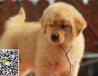 淄博犬舍长期出售-纯种金毛犬 各类世界名犬 终身包纯种