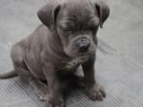 格力犬200元一只图片 2个月格力犬多少钱一只