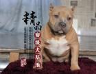 天津哪里卖美国恶霸犬幼犬
