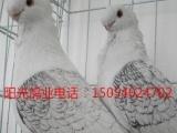 银川贺兰出售短嘴金银白,豆眼白,两头乌,两头红,蓝仙女,天使