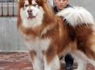 出售世界各类名犬 支持上门看狗 加微信咨询有折扣