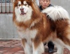 上海本地出售泰迪,博美,金毛,哈士奇,阿拉斯加,拉拉,柯基
