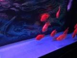 出售14条元宝鹦鹉鱼