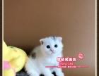 超标致可爱的蓝白梵文折耳猫小帅哥-思晴名猫坊