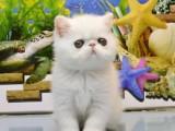 自家繁育纯血波斯猫幼猫多只弟弟妹妹都有可办理证书欢