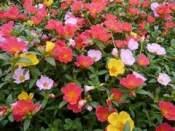 坊子太阳花 想买优惠的太阳花,就到昌盛花卉苗木