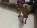 纯种棕黄色小鹿犬