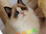 出售加菲猫/波斯/金吉拉/布偶海双重点色/包纯种/