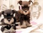 精品宠物繁殖基地长期出售雪纳瑞幼犬 保证品质健康
