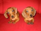 聪明的腊肠犬只是要寻找好的主人很温顺喜欢速速下单!