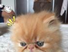 出售自己猫咪生的加菲猫 纯品种