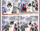 帅气不含糊的灰色-黑色-红色雪橇哈士奇幼犬三火小哈