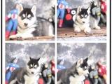 帥氣不含糊的灰色-黑色-紅色雪橇哈士奇幼犬三火小哈