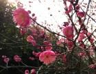 走 去绿世界看梅花去