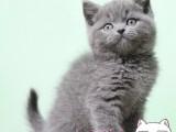 太原蓝猫幼猫 金吉拉幼猫 布偶 银渐层 暹罗猫(包纯种健康)