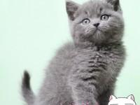 苏州蓝猫幼猫 金吉拉幼猫 布偶 银渐层 暹罗猫(包纯种健康)
