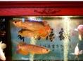 观赏鱼出售红龙鱼金龙鱼