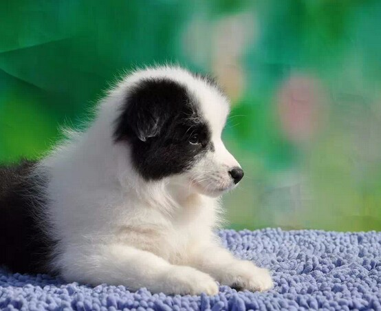 长期繁殖七白三通边牧犬 各类纯种名犬