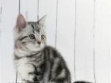 家养猫咪出售美短加白起司猫 标版 包纯种健康