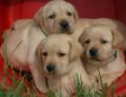拉布拉多幼犬出售中 自家繁殖保健康 三年质保协议