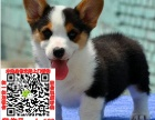 石家庄市专业繁殖纯种柯基犬健康活泼疫苗齐全
