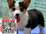 泉州顶级精品威尔士柯基犬出售疫苗做齐多只可选保健康