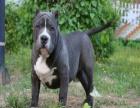 哪里有卖比特的 比特犬一般多少钱 比特好训练吗