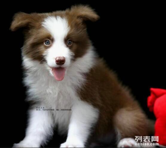 出售纯种漂亮的边境幼犬 保证健康