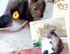 可爱的魔王松鼠奶鼠自己养大才亲人