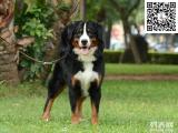 哪里有卖伯恩山佛山个人出售伯恩山幼犬自家养纯种公母8个月转让