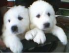 广州大白熊幼犬多少钱一只 上海哪里有卖大白熊 大白熊价格