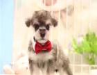雪纳瑞犬舍 专业繁殖雪纳瑞 高端雪纳瑞小老头