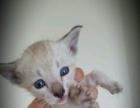 巧克力虎斑暹罗猫