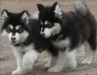 惠州狗场直销阿拉斯加泰迪哈士奇金毛萨摩耶秋田德牧等各种名犬