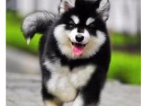广州买狗去哪里 出售巨型熊版阿拉斯加,终身质保,签协议