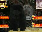 纯种松狮价格 松狮懒 松狮三个月体重