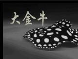 皇冠黑白魟鱼 皇冠黑白魟鱼价格,大金牛品牌自己生产,性价比高