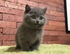 长沙 自家繁殖蓝猫 活泼可爱 肥嘟嘟大包子脸