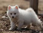日本尖嘴纯种银狐幼犬,血统正宗,疫苗已做可上门挑选
