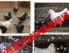 商丘大型肉鸽种鸽养殖场、种鸽价格