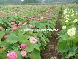 盆栽荷花批发 盆栽荷花种植 销售各种水生植物