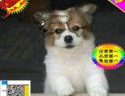 哪里有出售蝴蝶犬的 蝴蝶犬一般多少钱