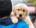 哪里有卖纯种双血统金毛犬纯种的长什么样子